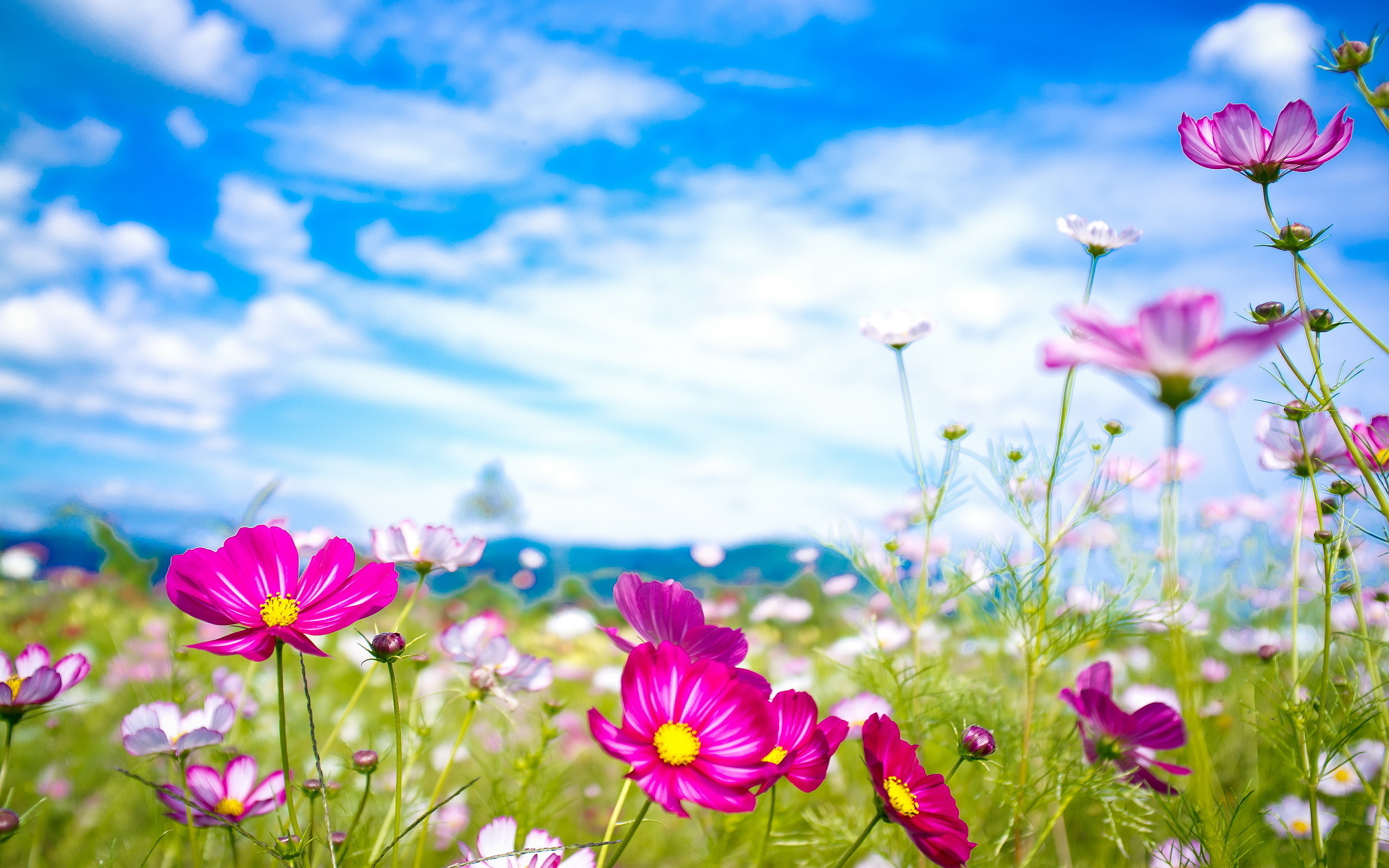 Pink Flowers Summer HD wallpaper   Pink Flowers Summer 2560x1600