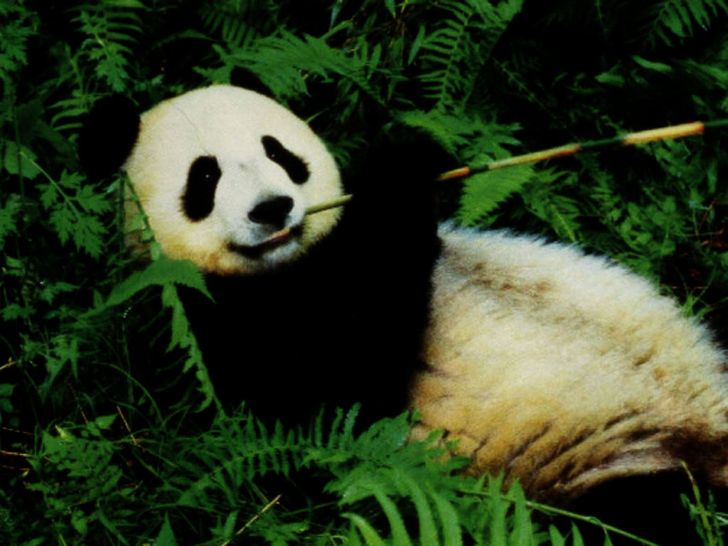 Beautiful Panda Bear Wallpapers Desktop HD 1024x768