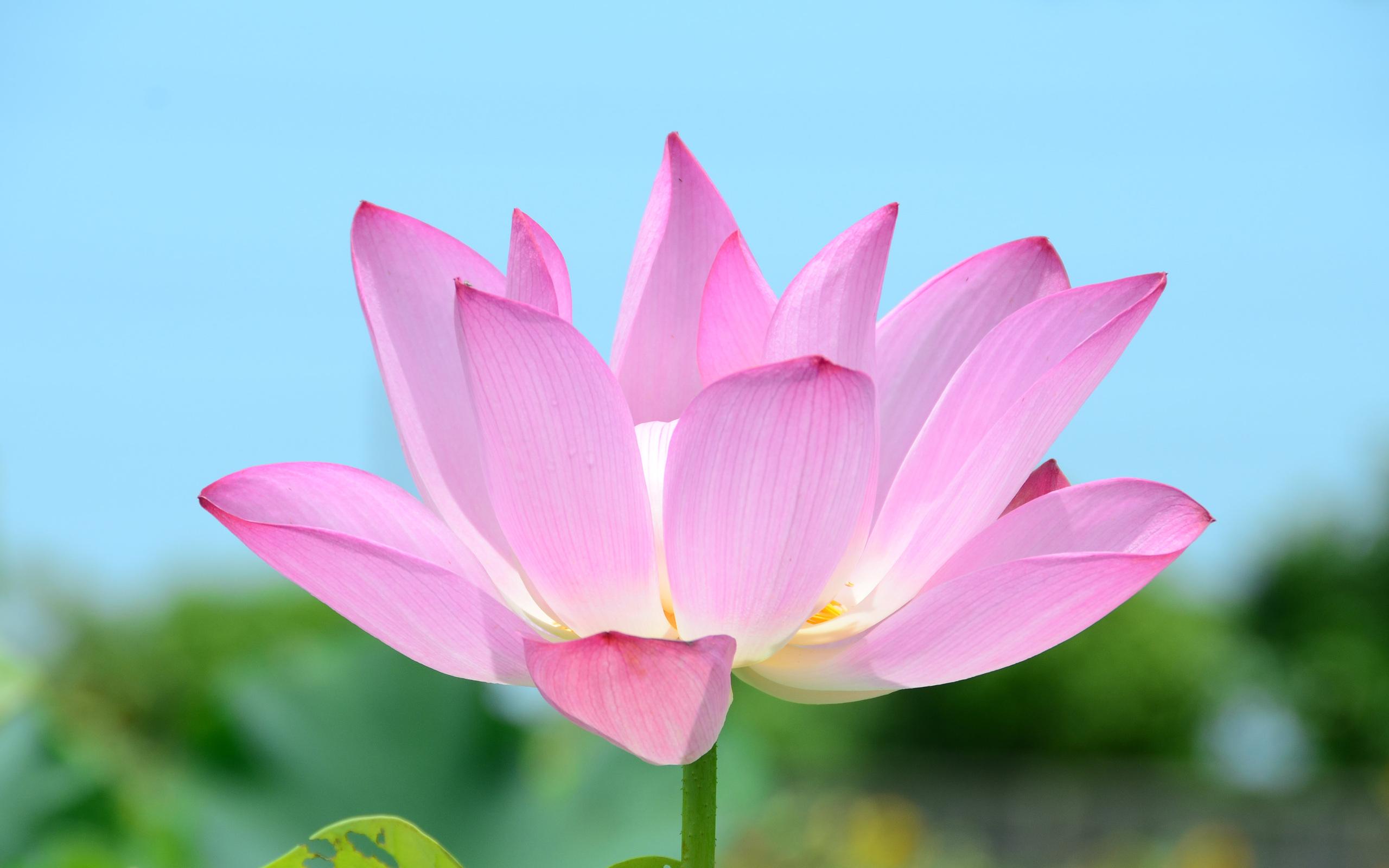 Lotus Flower Wallpaper Free Download Labzada Wallpaper