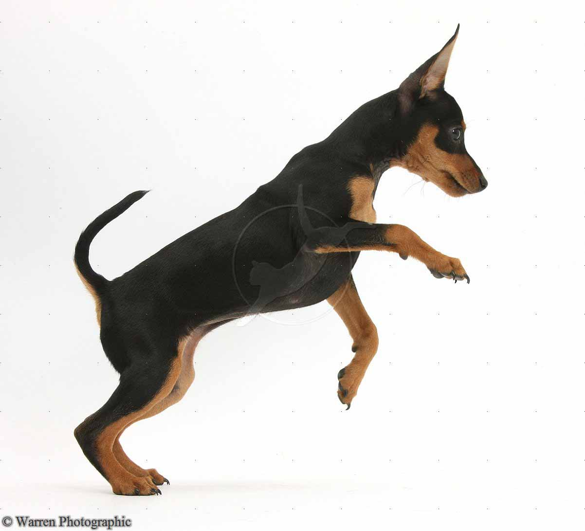 Miniature Pinscher Wallpapers HD Wallpapers Pics 1202x1091