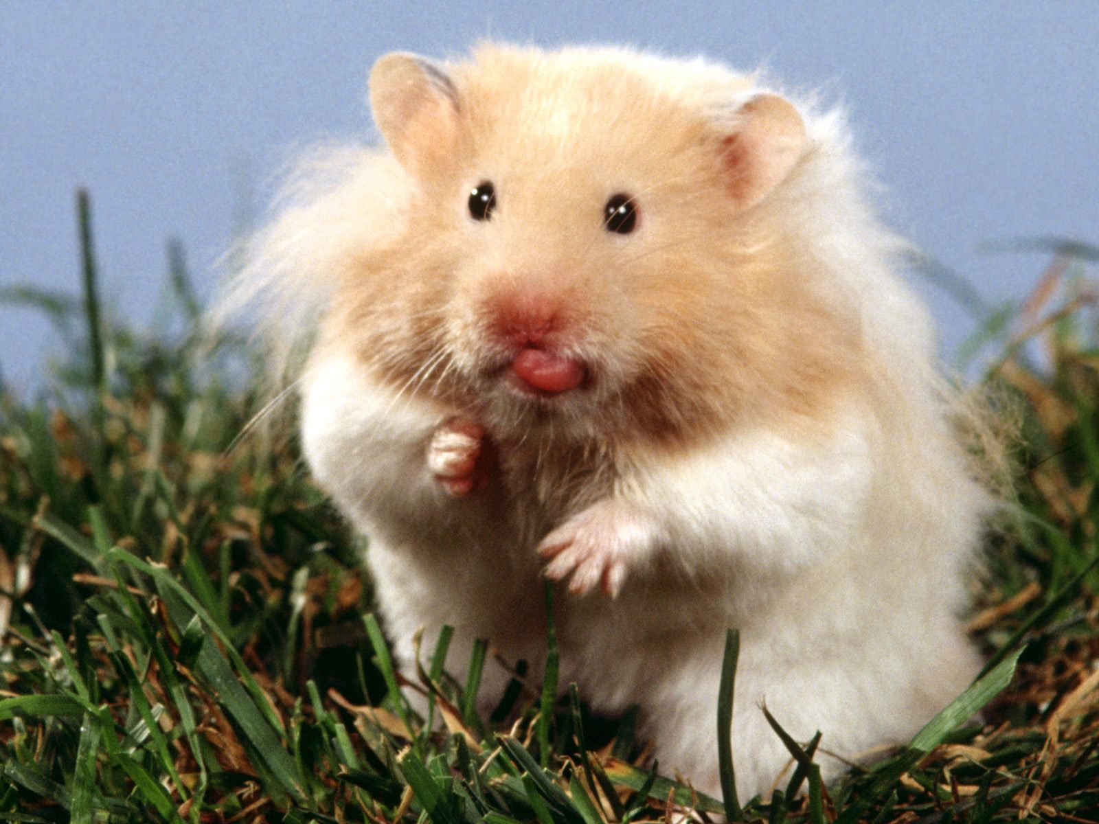 Hamster Lovely Desktop Backdrop Hamster Lovely Photography Wallpaper 1600x1200