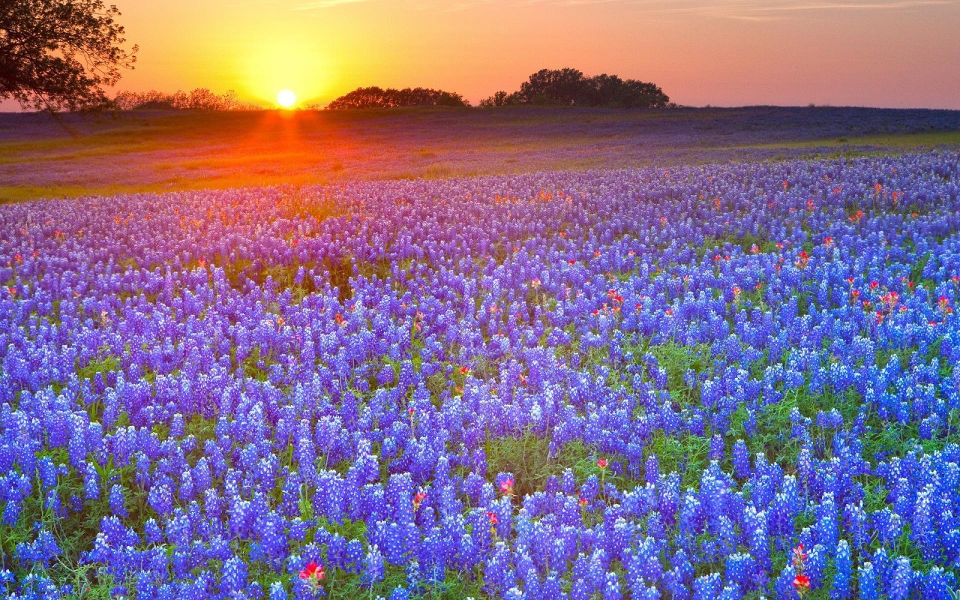 country texas meadows blue flowers bluebonnet wallpaper 37315 1920x1200