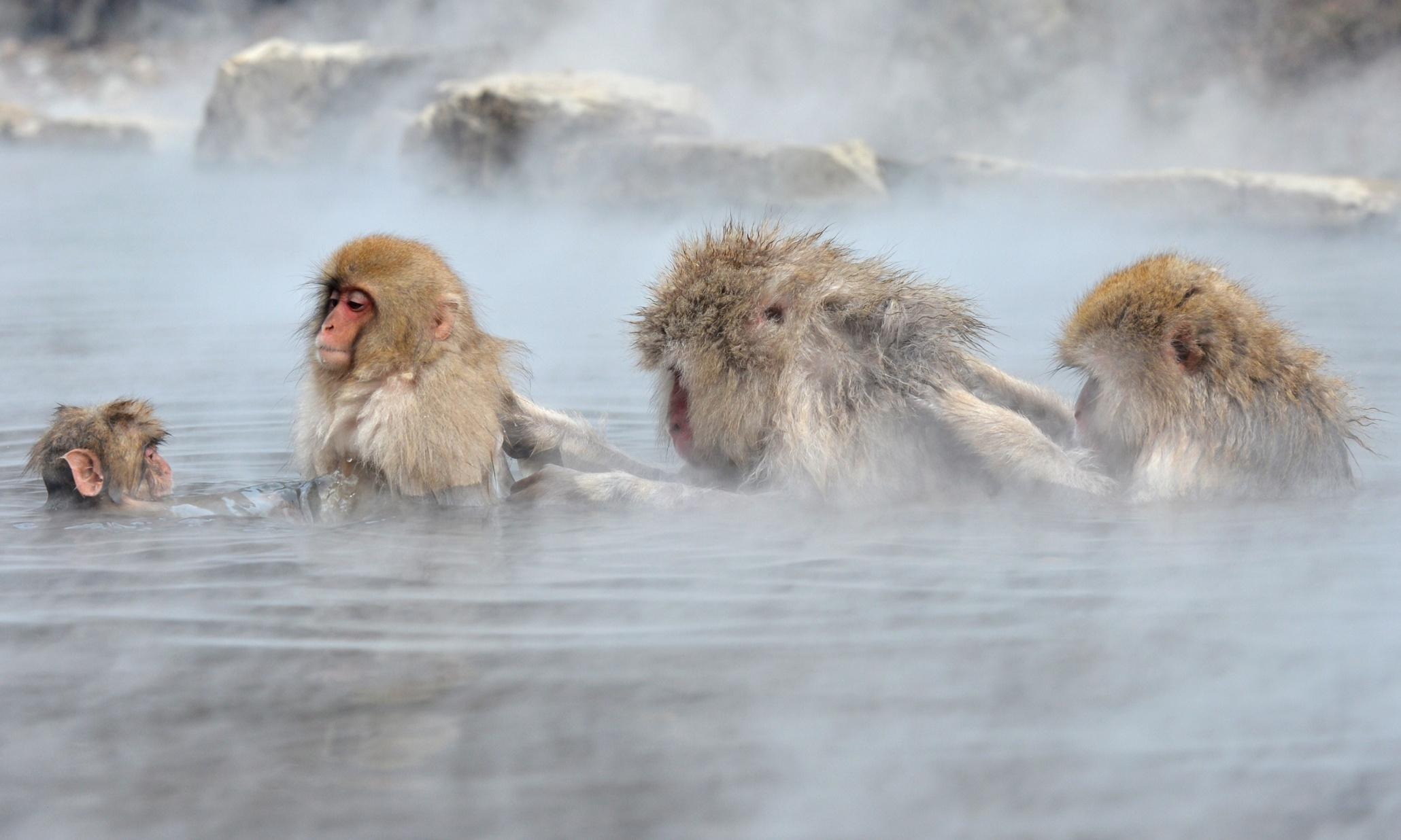 37 Japanese Macaque Wallpapers On Wallpapersafari Images, Photos, Reviews