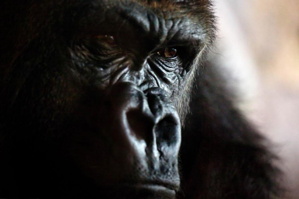 Angry Gorilla wallpaper Best HD Wallpapers 1050x700