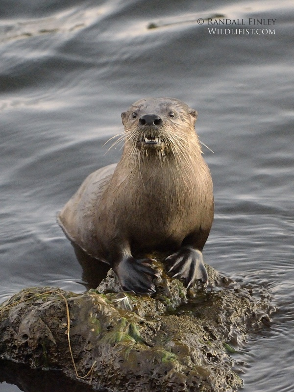 River Otter Pictures Quotes Pinterest 600x800