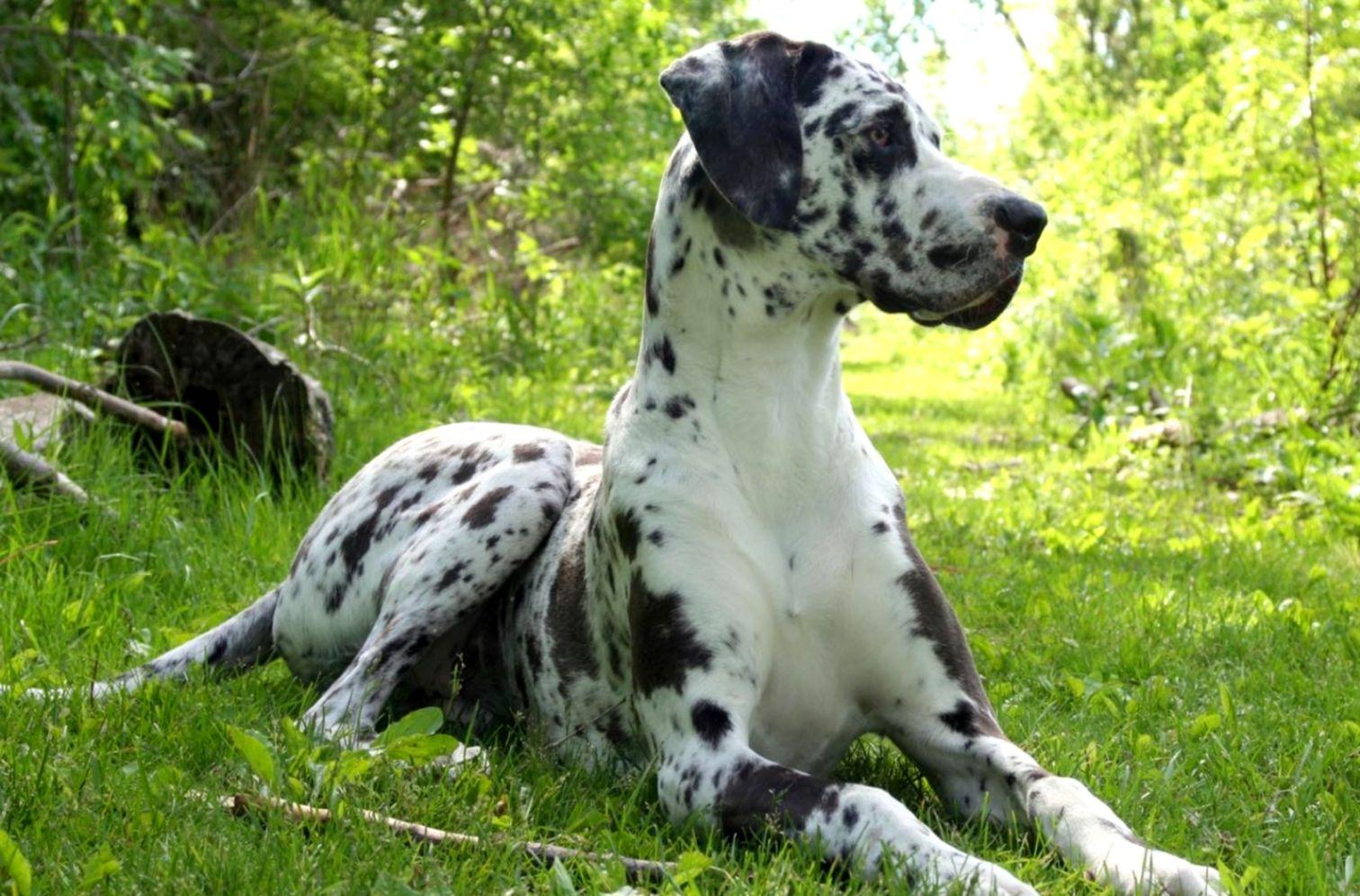 Beautiful Bullmastiff Dog Hd Images Desktop Wallpapers Of Dogs 1512x997