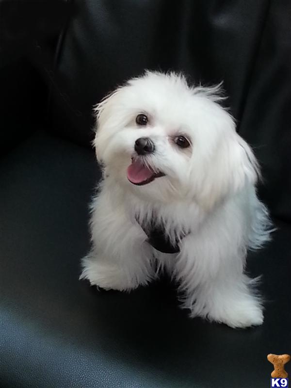 Dogs And Puppies Wallpaper Maltese Desktop Wallpa...