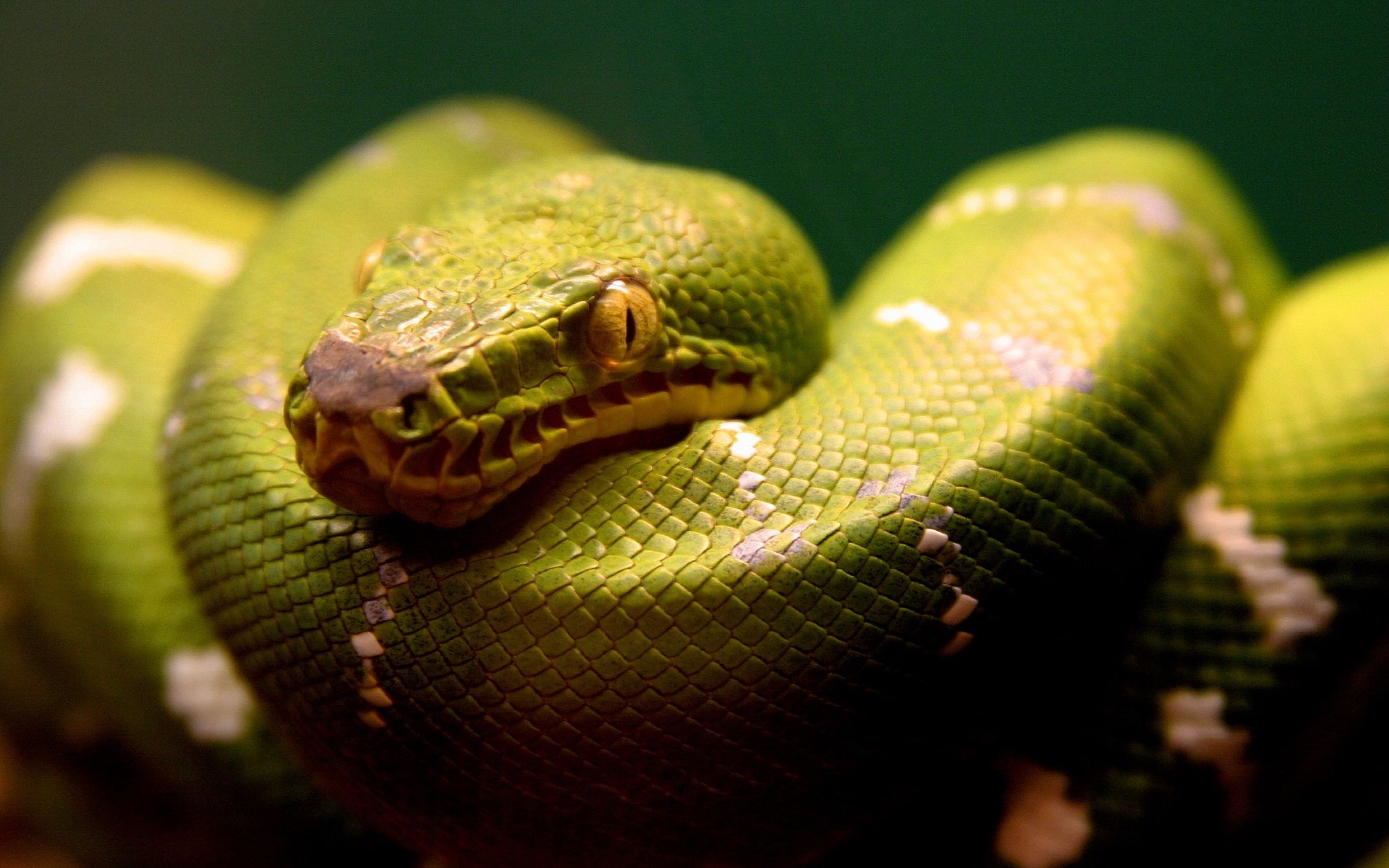 Green Snake Wallpapers HD Wallpapers 1920x1200