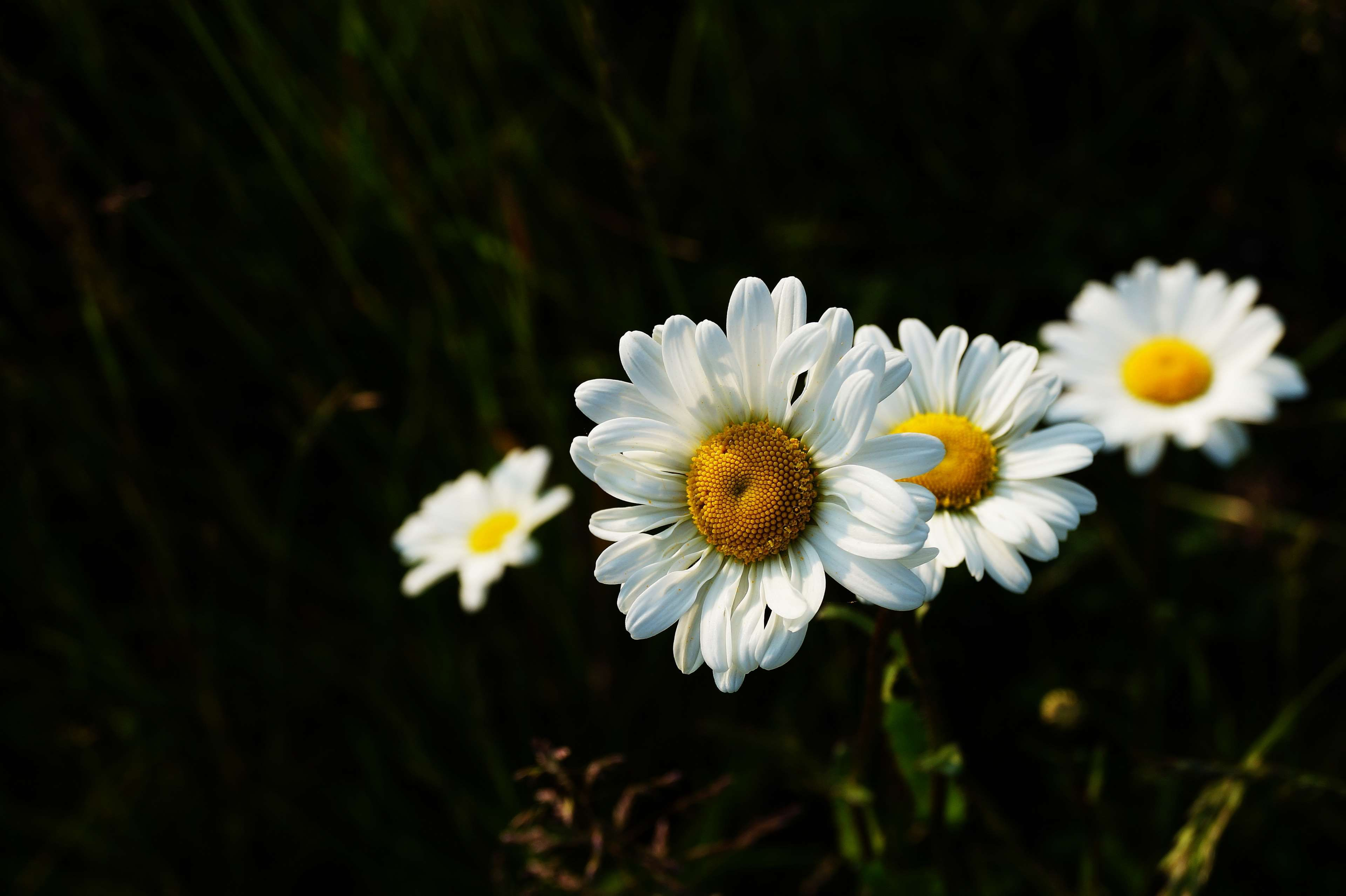 bloom blooming blossom blur chamomile close up colors 3840x2556