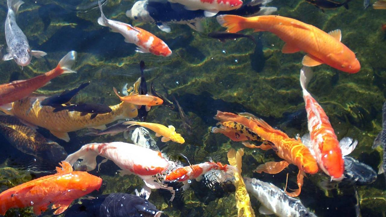 Koi background wallpaper wallpapersafari for Koi fish pond hd