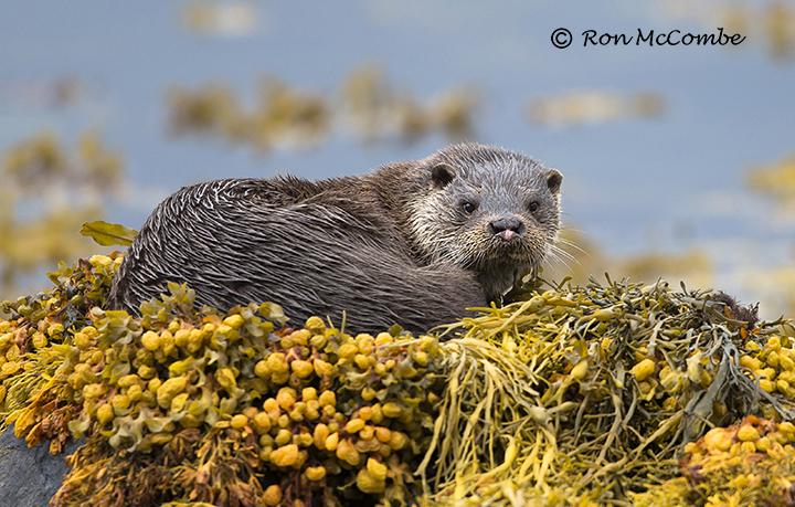 Wildlife Photography Workshop Isle of Mull Ron McCombes Wildlife 720x459