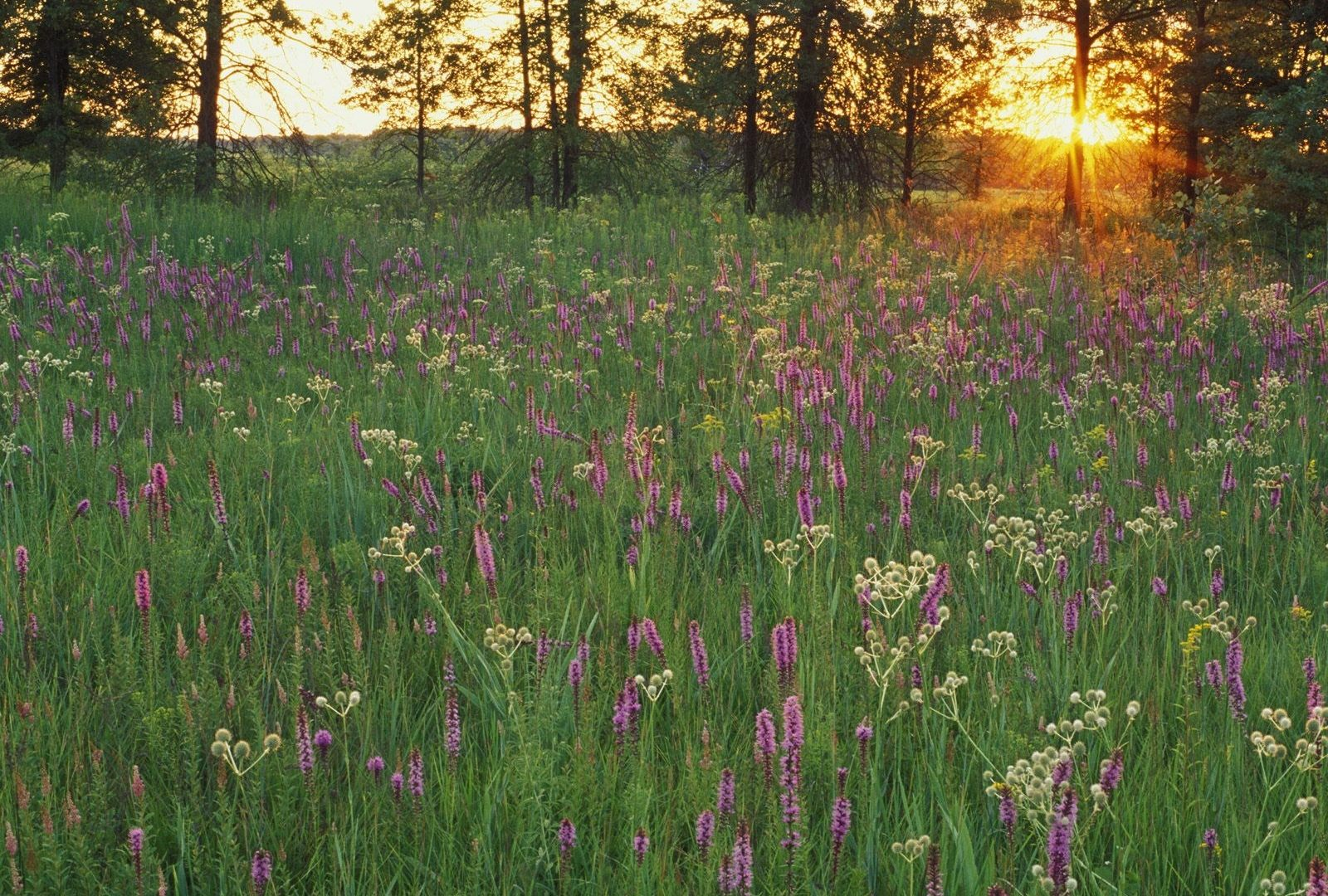 Flowers Untitled Prairie Flowers Sunset Iroquois Conservation 1600x1080