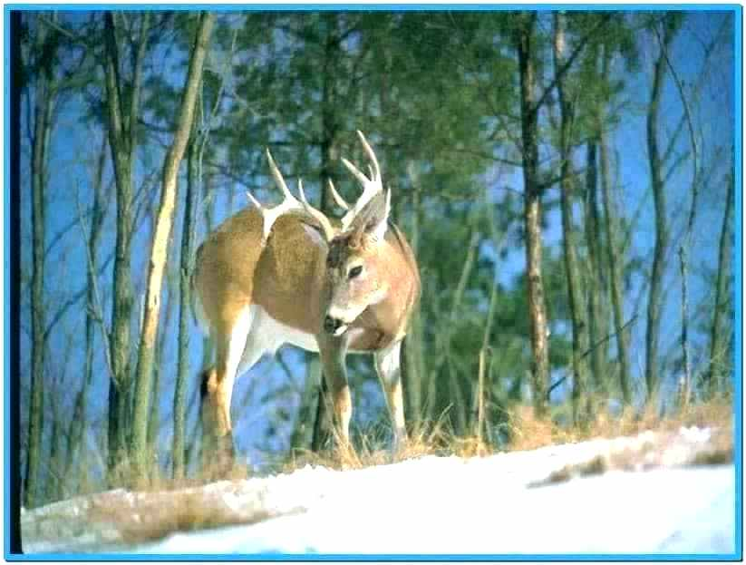 whitetail deer wall paper tedoyprimiciasinfo 823x623