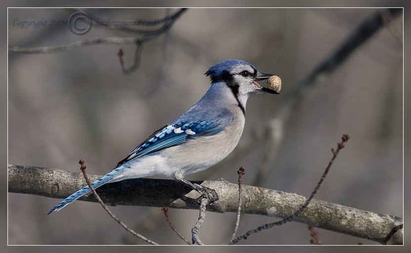 HD Desktop Wallpaper blue jay wallpapers 832x512