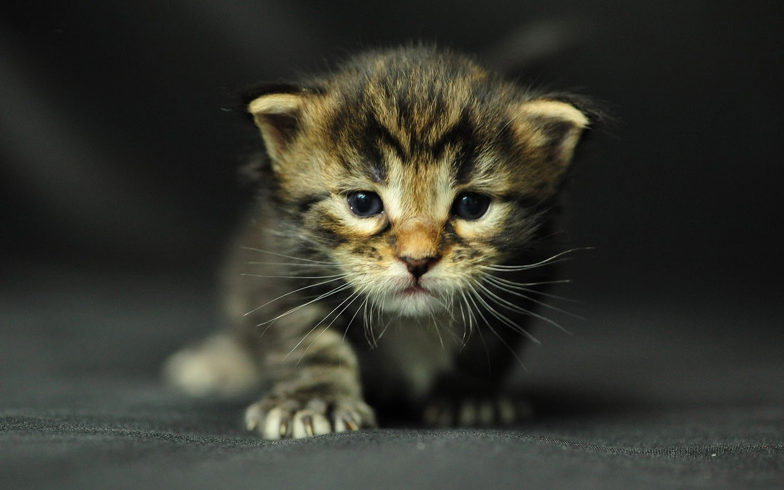 Hd kitten wallpaper wallpapersafari - Kitten wallpaper hd ...