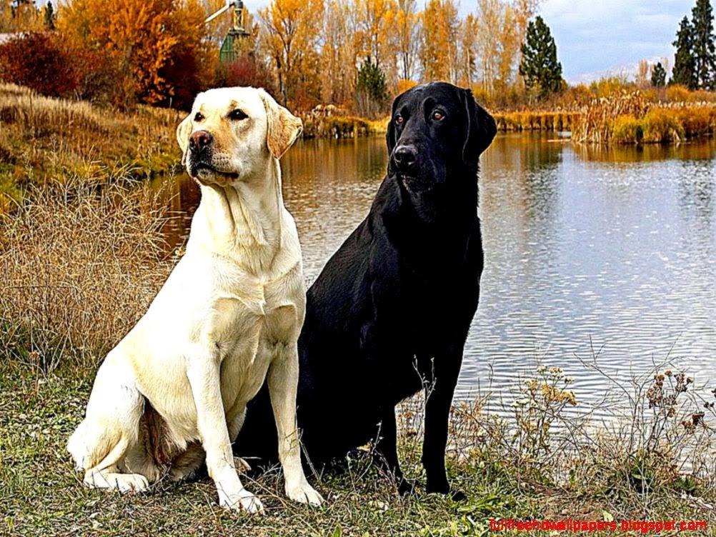 Black N Yellow Labrador Dog Wallpaper Desktop Full HD 1002x752