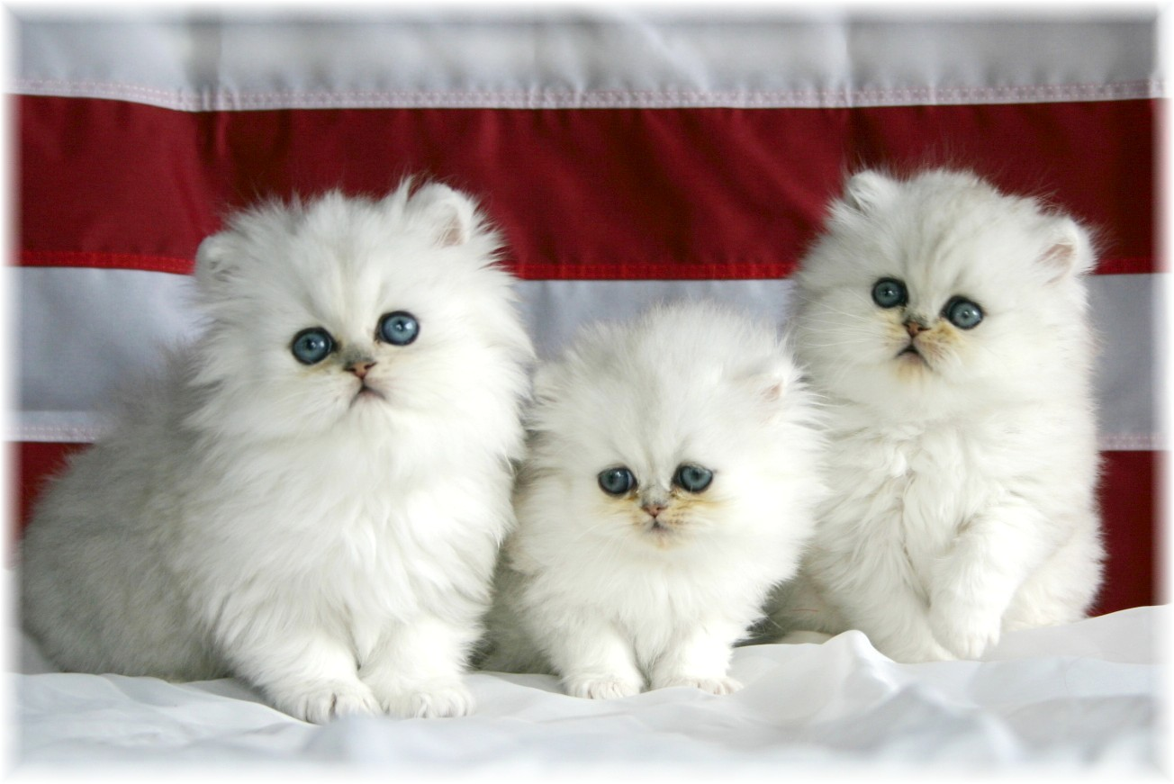Images For Beautiful White Cute Cat Pictures Photos Wallpapers 1304x871