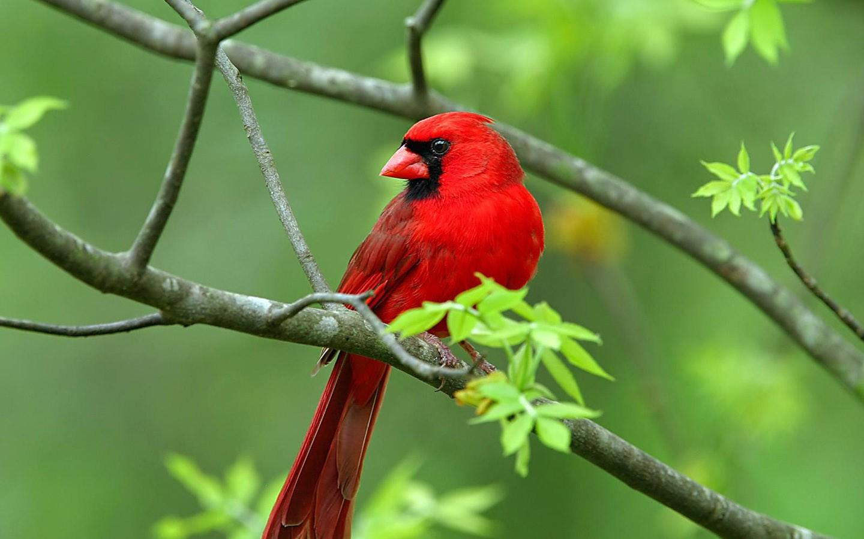 Cardinal Perched on Branch PC Wallpaper HD Wallpaper 1440x900