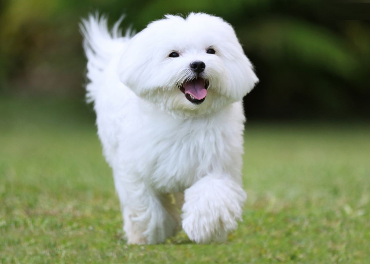 Maltese Dog Photos Background HD Wallpapers 1280x912