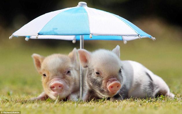 pigs micro pigs mini pigs miniature pig pet animal potbellied pig 630x397