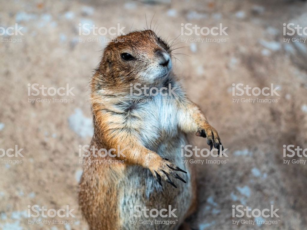Curious Prairie Dog Standing On Sand Ground Stock Photo More 1024x768