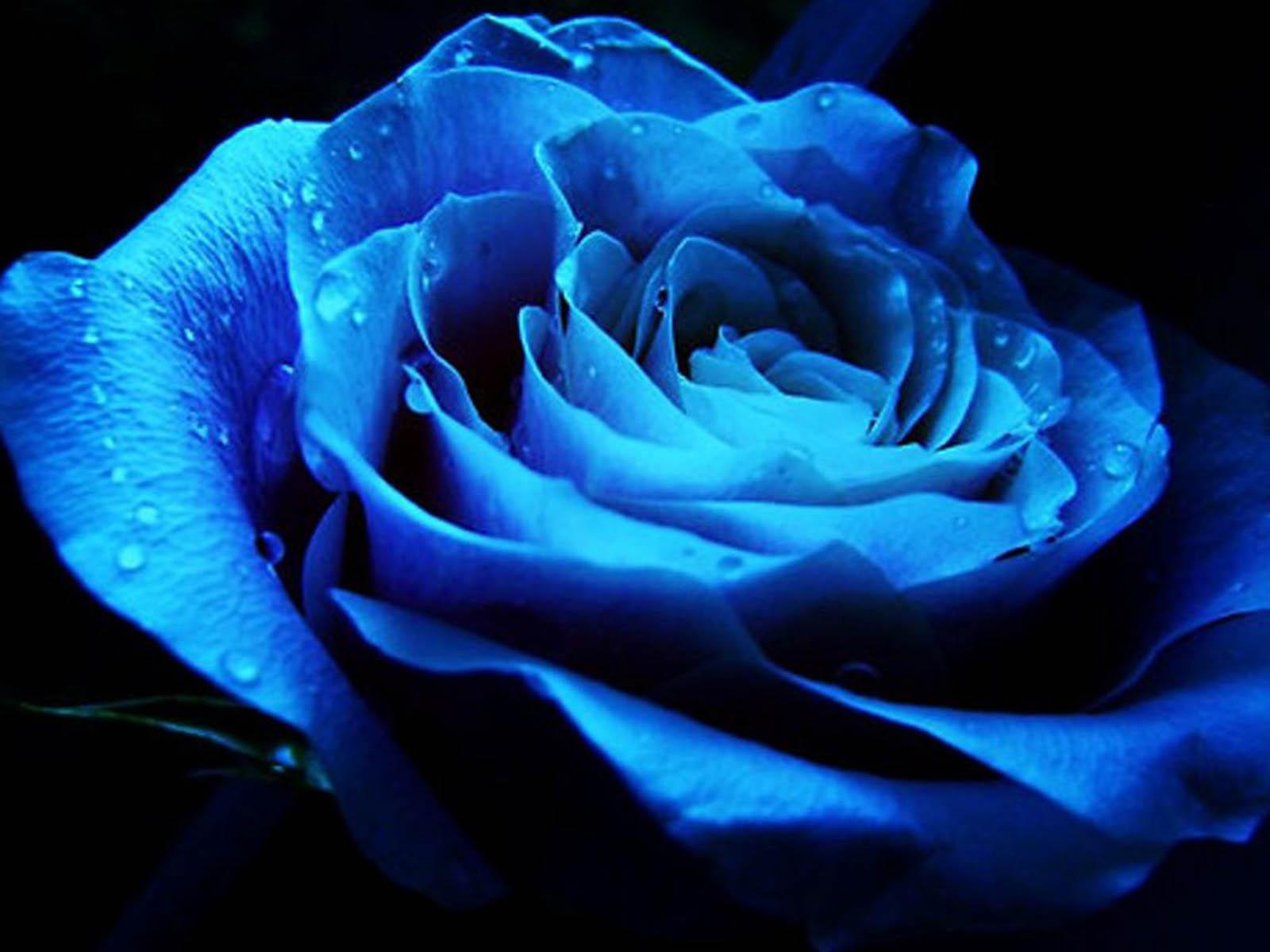 Blue Roses Background Wallpapersafari