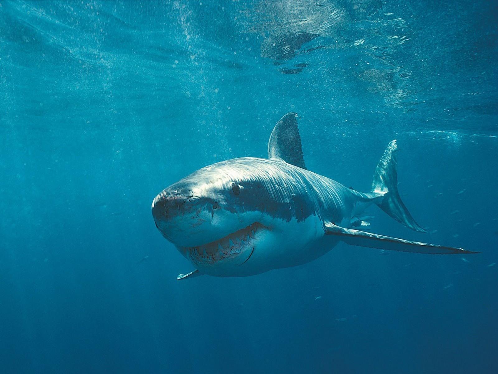 Great White Shark desktop wallpaper 1600x1200