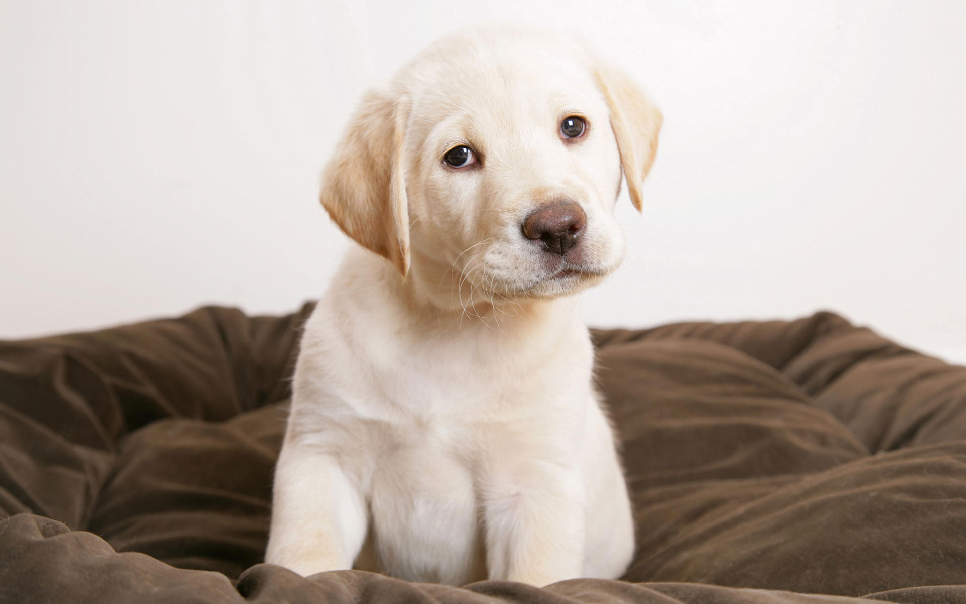 Cute puppy eyes Wallpapers HD Wallpapers 1920x1200