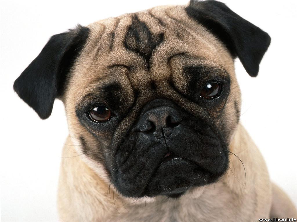 Pug Dog wallpaper 1024x768