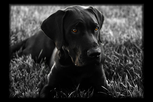 black wallpaper hd Black Lab Wallpaper 500x334