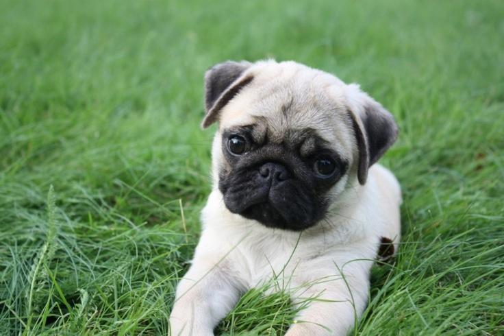 Soil Pugs Cute Pug Puppies Cute Pugs Pugs Pugs Dog Things Pug 736x490