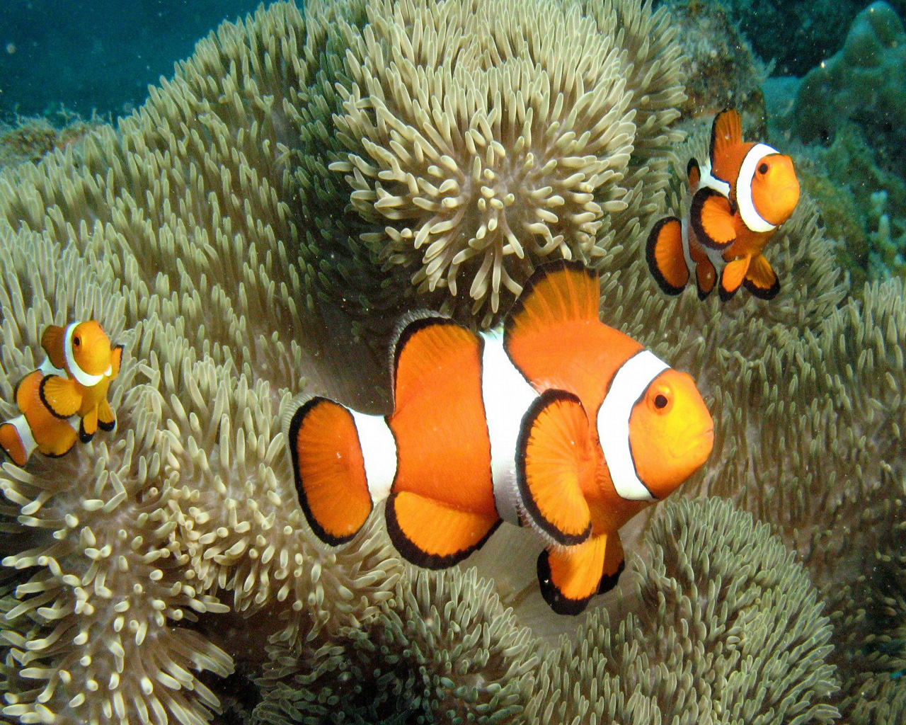Cute Clown Fish Wallpaper   1280x1024 iWallHD   Wallpaper HD 1280x1024