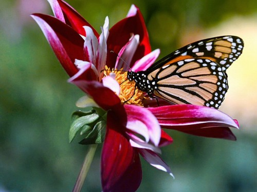 free flowers and butterfly screensaver screensavers download flowers 500x375