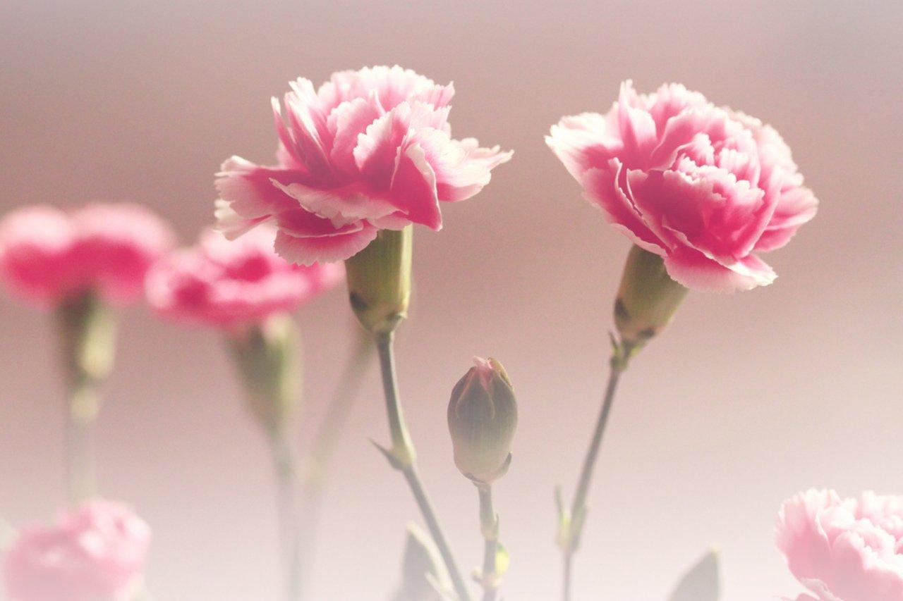download Pink Carnations wallpaper ForWallpapercom [1280x853 1280x853