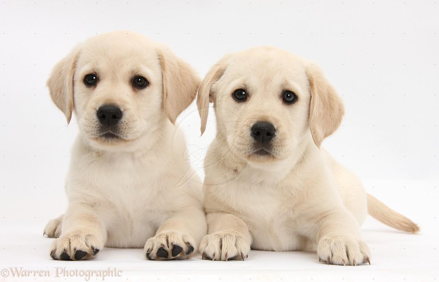 12 Animals Desktop Wallpapers 922004 Yellow Labrador Puppies Photos 1426x919