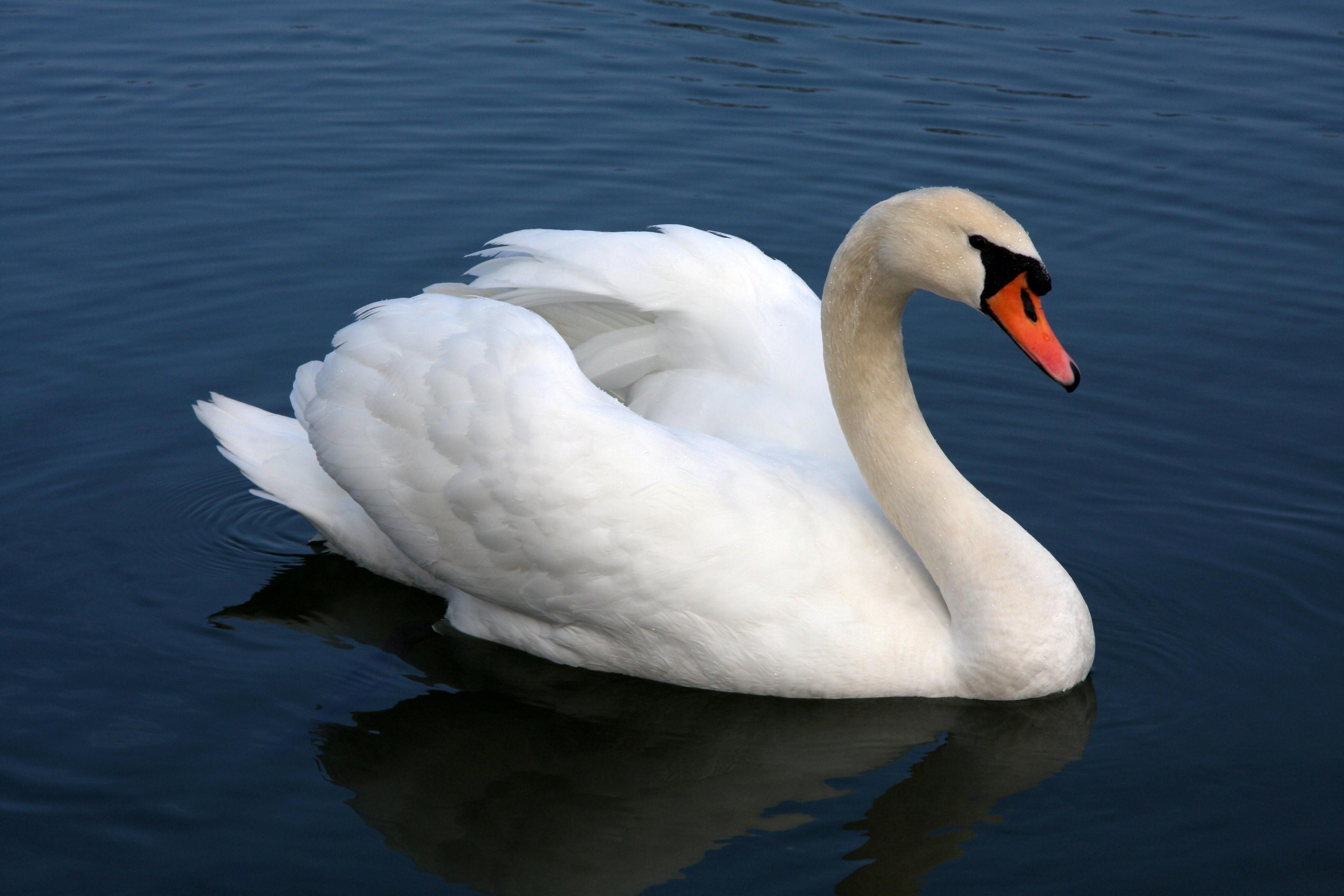 Swan Wallpapers 3888x2592
