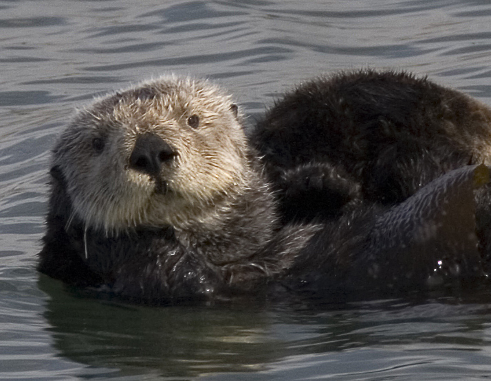 Sea Otter Pictures Wallpapers   Wallpaper 1 of 8 714x555