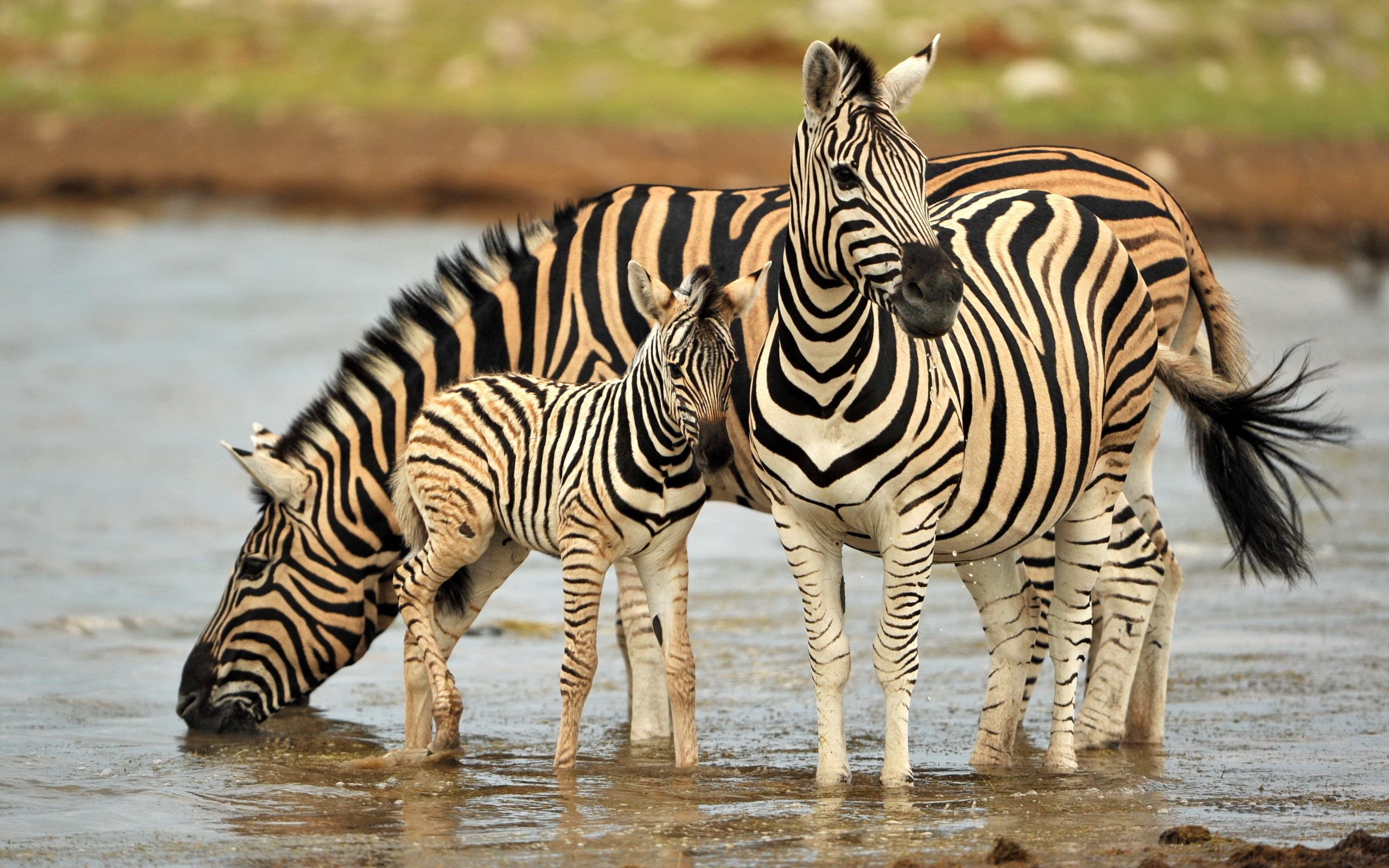 154 Zebra HD Wallpapers Background Images 2560x1600