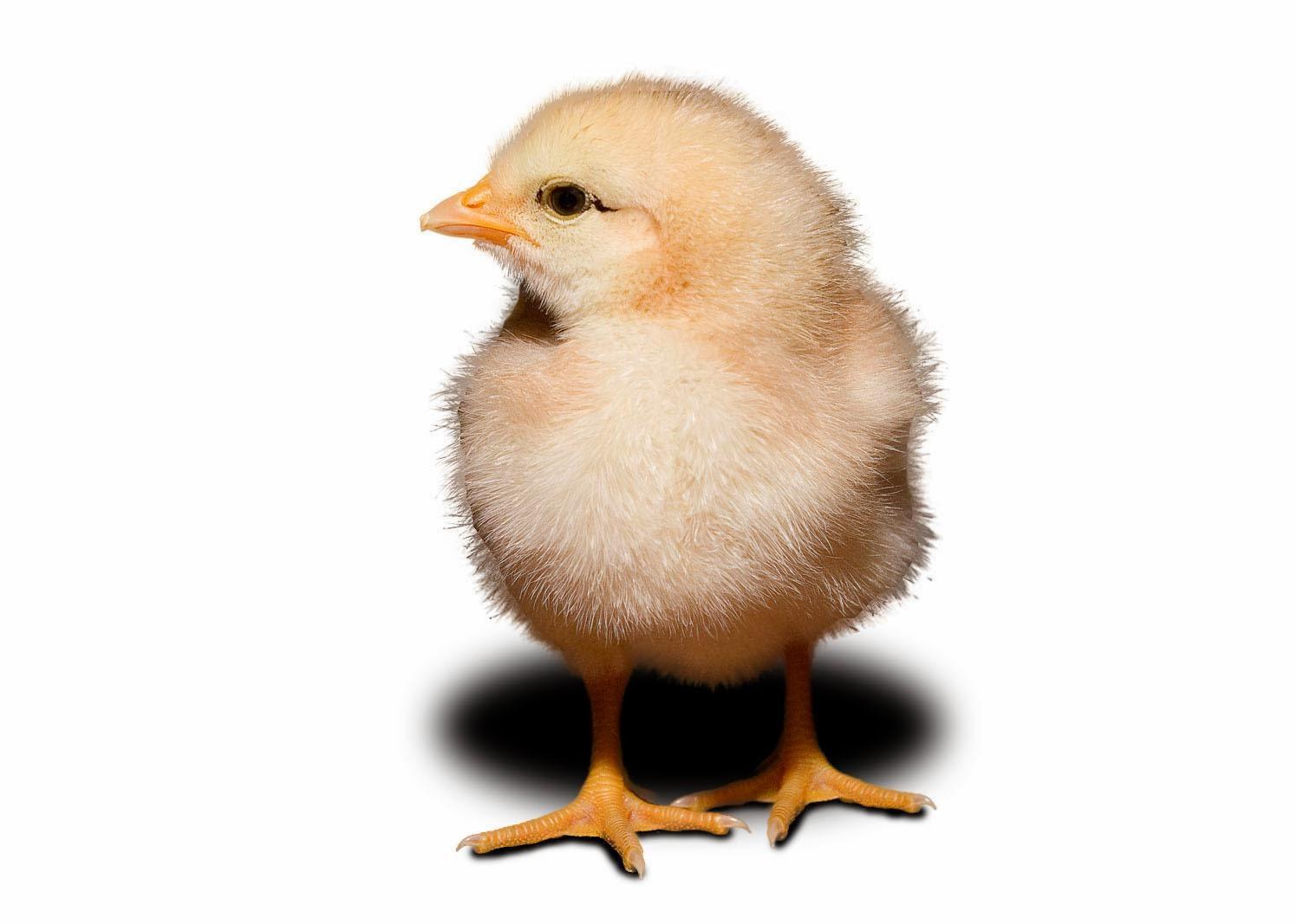 chicks chick wallpapers hd 4u wallpapersafari code