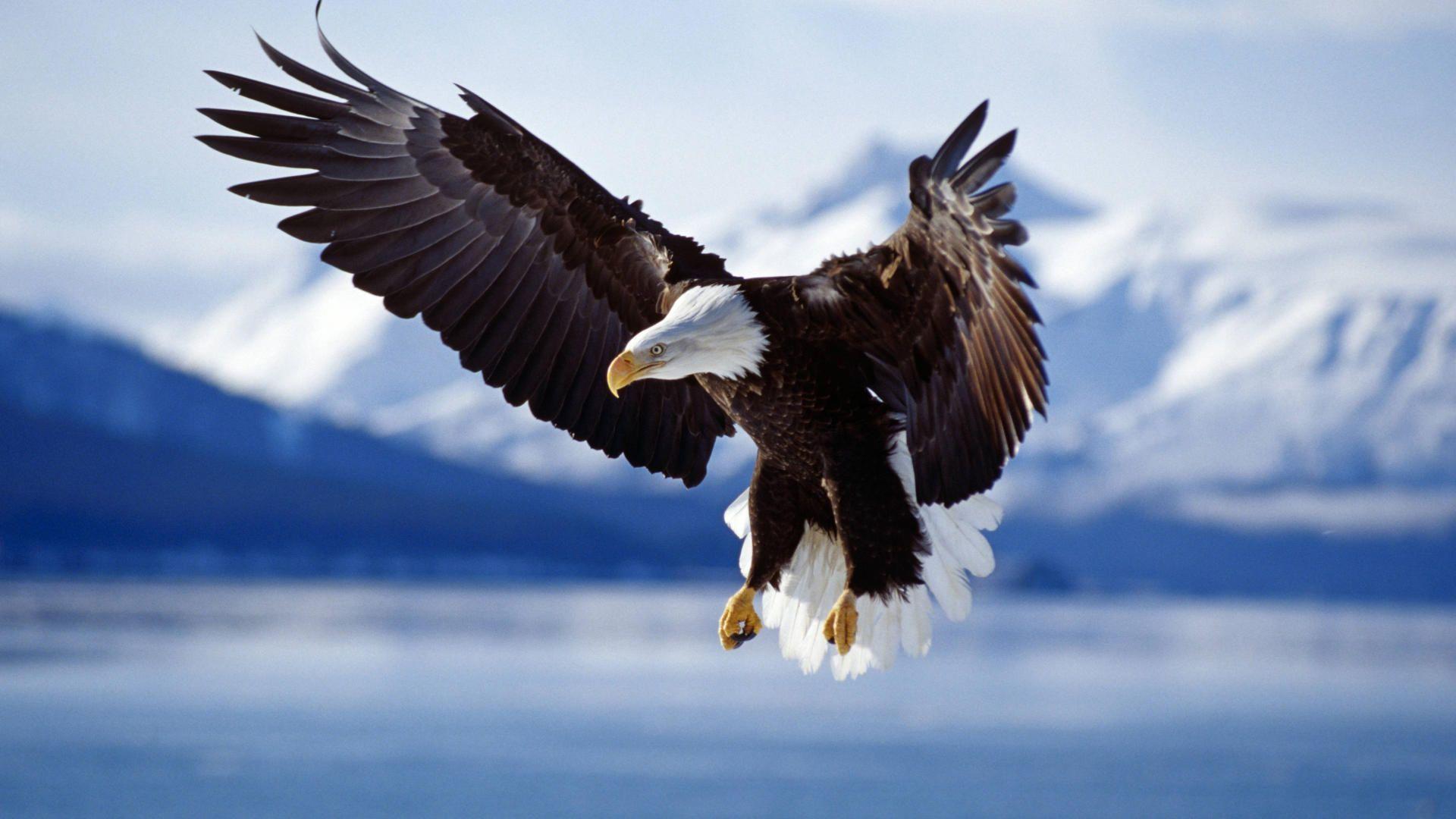 eagle animals wallpaper background winter flight alaska 1920x1080