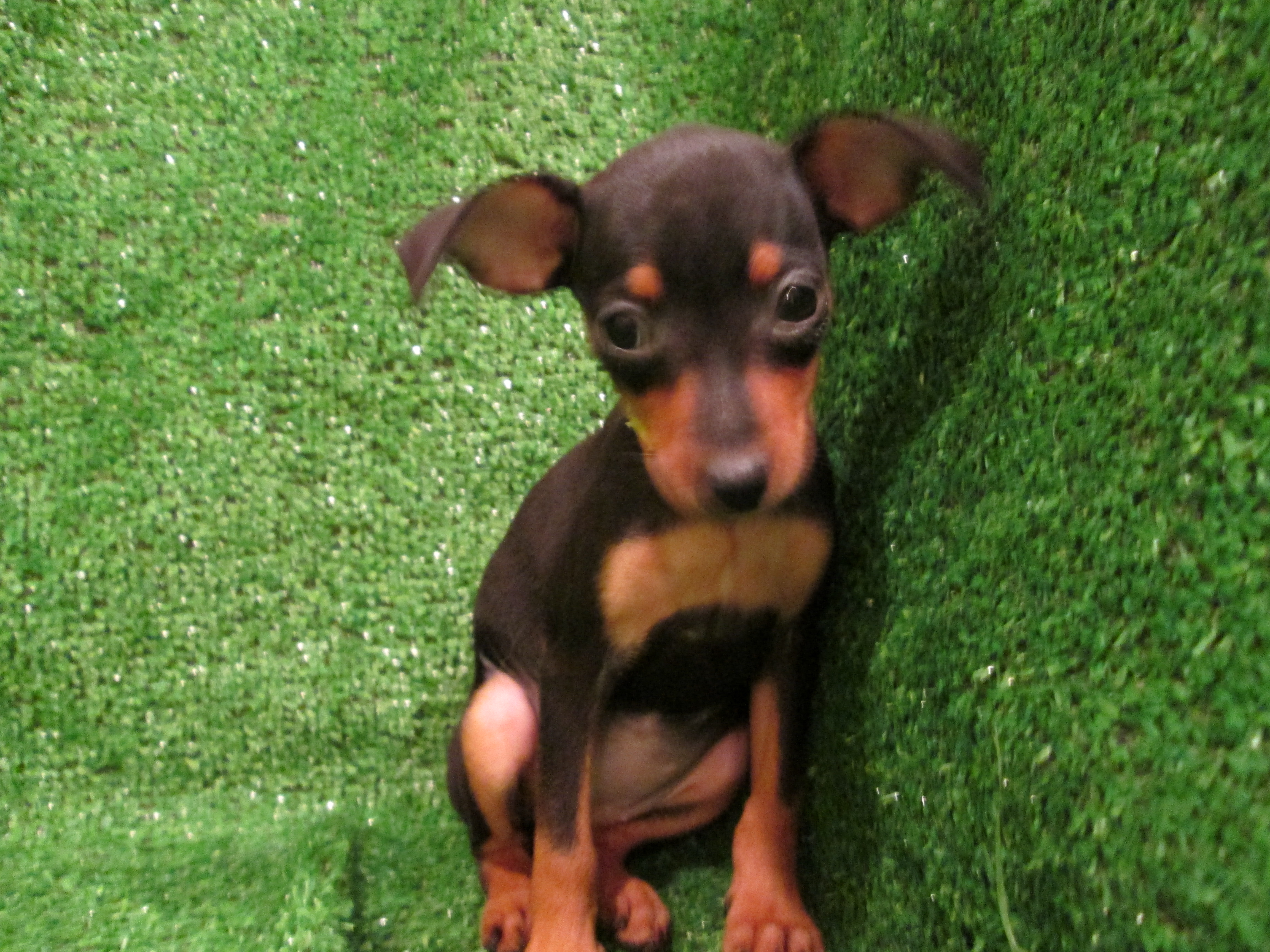 Miniature Pinscher Puppies 42 Hd Wallpaper 4608x3456