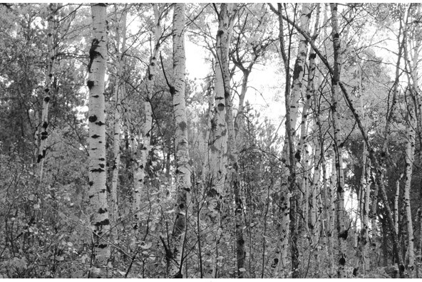 This collection contains 10 Stock Image files Birch Trees is a unique 592x396