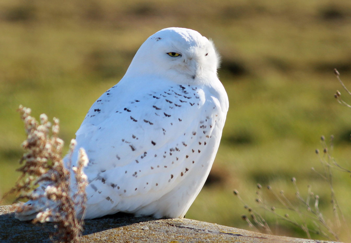 Screensavers and Wallpaper Snowy Owl Owls Screensavers Owl And 1344x930