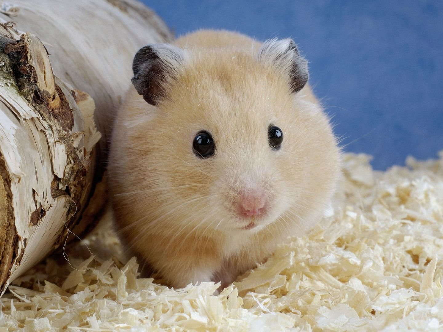 Hamster Wallpapers Fun Animals Wiki Videos Pictures 1440x1080