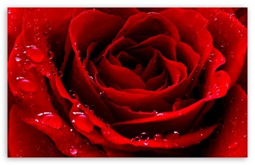 Red Love Rose HD wallpaper for Standard 43 54 Fullscreen UXGA XGA 510x330