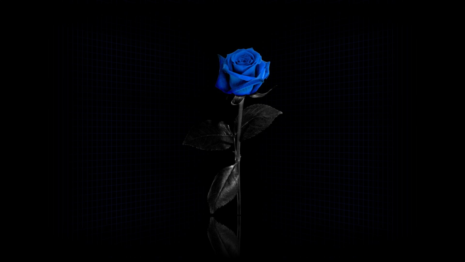 Beautiful blue rose on black background wallpapers and images 1920x1080