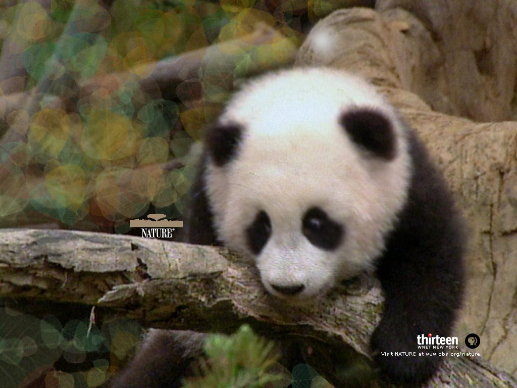 free wallpaper pc computer wallpaper download Panda baby 1024x768