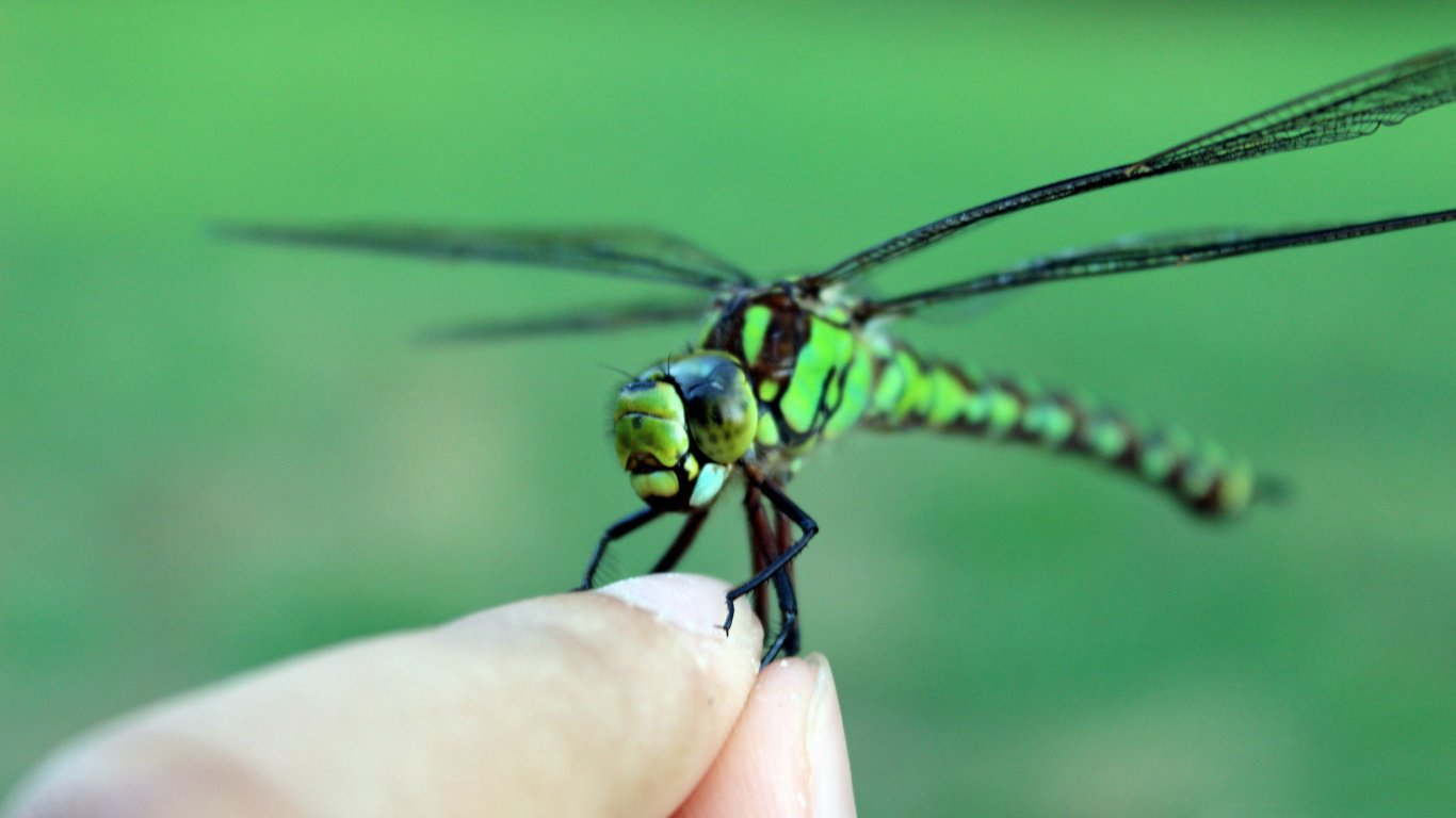 Dragonfly HD Wallpapers 1366x768