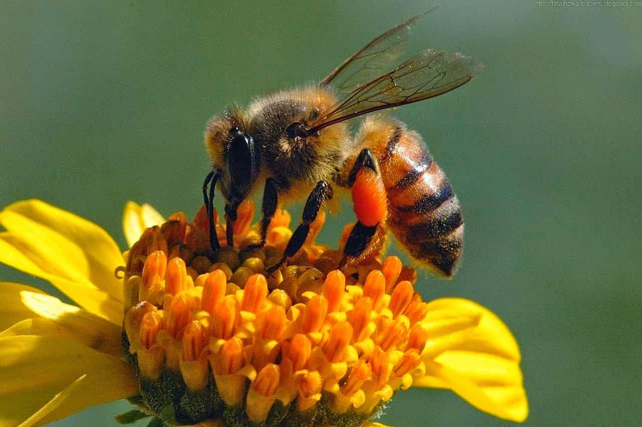 Beautiful Wallpapers Bee HD Wallpaper 1280x853