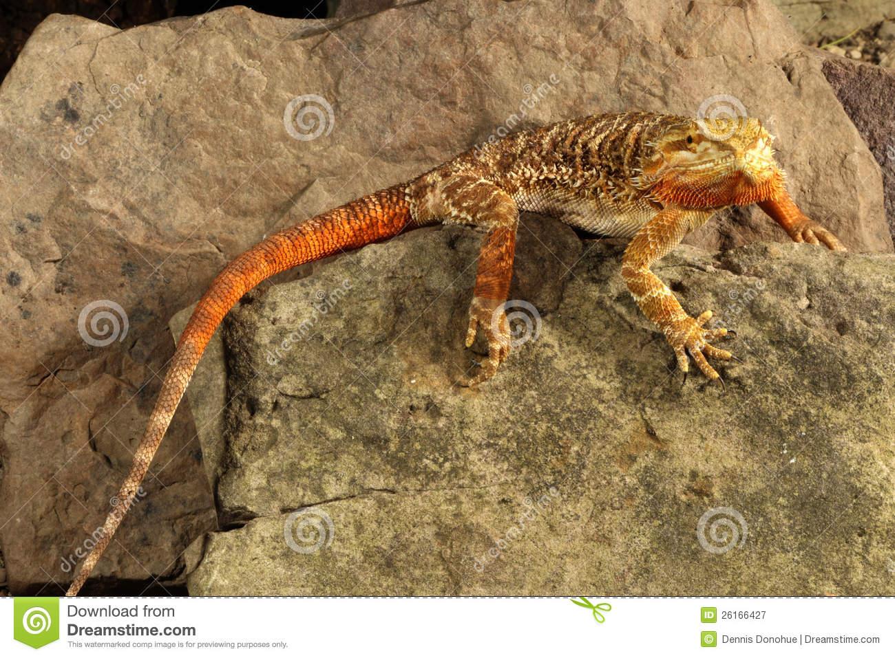 Bearded dragon mating help  Yahoo Answers